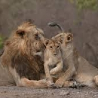 Population of Asiatic Lion increases to 29%: cheers wildlife conservationist