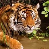 Ministry of environment report: Tiger population rising at 6% per annum.